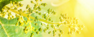 bachbluete-No-32-vine-echte-weinrebe
