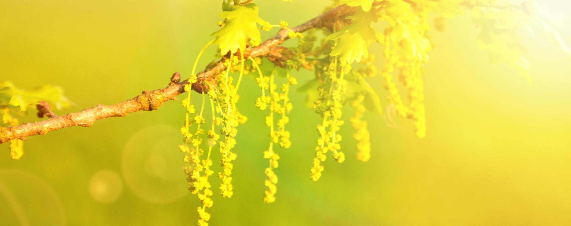 Nr 22 Oak Eiche Verzagtheit und Verzweiflung Lemon Pharma Original Bachblüten Dr. Bach