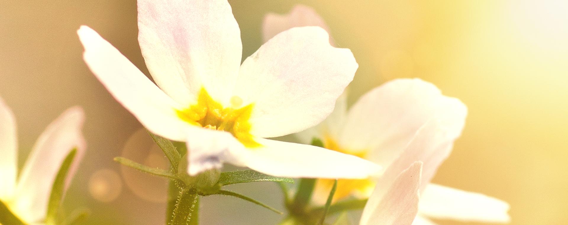 Nr 34 Water Violet Sumpfwasserfeder Einsamkeit Lemon Pharma Original Bachblüten Dr. Bach