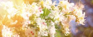 Nr 35 White Chestnut Weisse Kastanie Desinteresse an der Gegenwart Lemon Pharma Original Bachblüten Dr. Bach