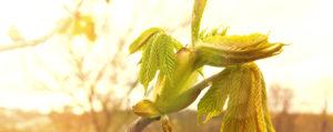 Nr 7 Chestnut Bud Knosper der Rosskastanie Desinteresse an der Gegenwart Lemon Pharma Original Bachblüten Dr. Bach